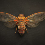 Cicada (Megapomponia intermedia) under white light