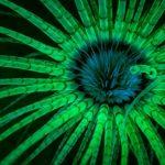 Cerianthus sp., fluorescence. (c) Jim Obester.