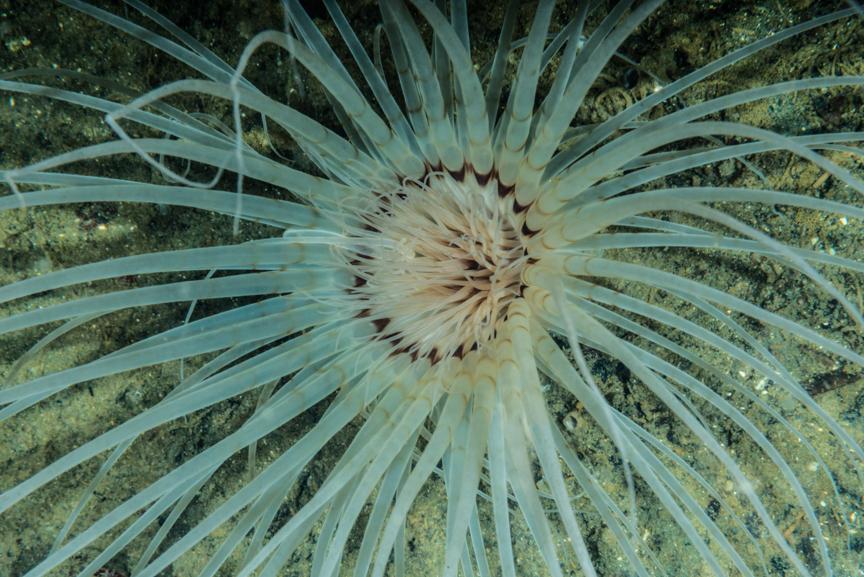 Cerianthus sp., white light. (c) Jim Obester.
