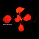 Fluorescence image of RFP positive and negative seedlings