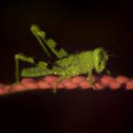 Insect fluorescence - grasshopper - (c) DanJones
