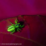 Jumping spider fluorescence - (c) Shawn Miller