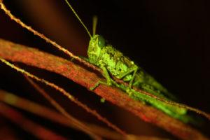 Rosemary grasshopper Schistocerca ceratiola fluorescence (c) Charles Mazel
