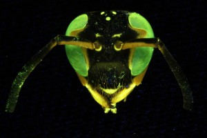 Wasp fluorescence, focus stacking (c) Charles Mazel