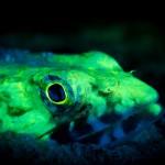 Fluorescing lizardfish. (c) Philip Seys