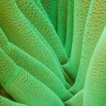 Fluorescing anemone. (c) Susannah H. Snowden