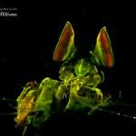 Golden Mantis Shrimp Fluorsecence (Lysiosquilloides mapia) (c) Alex Tyrrell