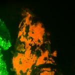Freckled Frogfish Fluorescence (Antennarius coccineus) (c) Alex Tyrrell