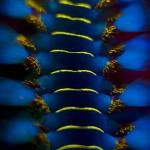 Fireworm (Hermodice sp.) (c) Kerim Sabuncuoglu