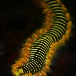 Fireworm fluorescence (c) Kerim Sabuncuoglu
