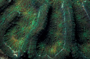Coral fluorescing green in daytime (c) Charles Mazel