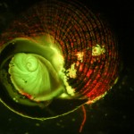 Fluorescence stereo micrograph of underside of a snail shell, showing the operculum and algae growing on the shell