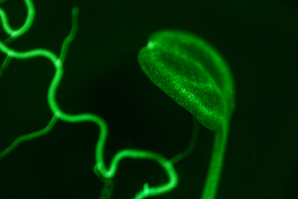 Arabidopsis fluorescence imaged with bandpass filter (c) NIGHTSEA