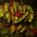 Mussels on rock, fluorescence (c) Charles Mazel