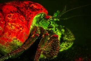 Hermit crab, fluorescence (c) Charles Mazel