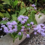 Ageratum sp. flowers (c) Charles Mazel