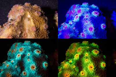 Cyphastrea fluorescence