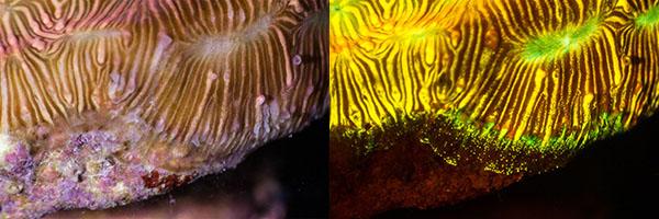 Leptoseris fluorescence