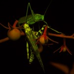 Grasshoppers on tomato plant, fluorescence