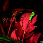 Tobacco hornworm on plant, fluorescence, Maine
