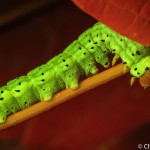 Green-striped mapeworm, Dryocampa rubicunda, on leaf, fluorescence, Maine