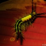 Larva of white-marked tussock moth, Orgyia leucostigma, on leaf, fluorescence, Maine