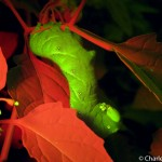 Tobacco hornworm, fluorescence, Maine