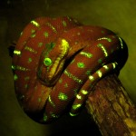 Northern Emerald Tree Boa, fluorescence