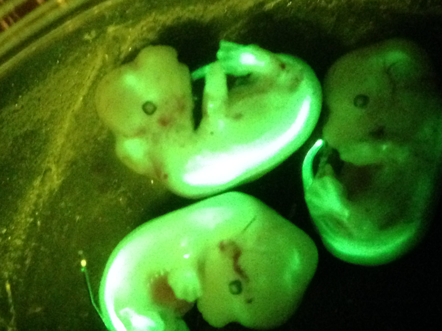 Mouse embryos illuminated by the SFA lamp and viewed through the microscope.