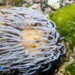 Snakelocks Anemone – Anemonia viridis, white light