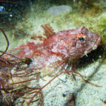 Long Spined Scorpion Fish – Taurus bubalis, white light
