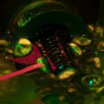 Juvenile abalone, Haliotis sp., fluorescence (c) Charles Mazel