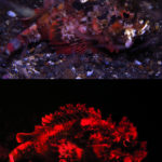 Bandtail Scorpionfish - white and blue light