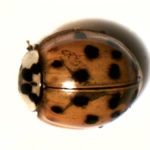 Lady bug under white light