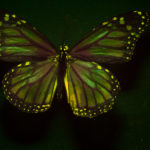 Female Monarch Butterfly (Danaus plexippus) fluorescing under blue excitation light