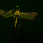Squash vine borer (Sessiidae melitta cucurbitae) fluorescing under blue excitation light