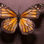 Female Monarch Butterfly (Danaus plexippus) under white light