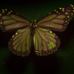 Male Monarch Butterfly (Danaus plexippus) fluorescing under blue excitation light