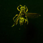 Northern Paper Wasp (Polistes fuscatus) fluorescing under blue excitation light