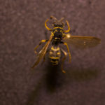 Northern Paper Wasp (Polistes fuscatus) under white light