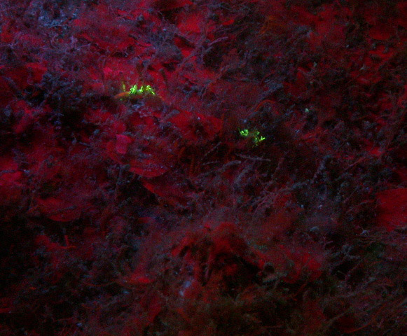 Nudibranch Cuthona millenae fluorescing (c) Alicia Hermosillo