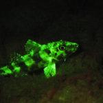 Lizardfish, Bonaire