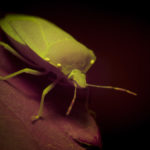 Insect fluorescence - shield bug - (c) DanJones
