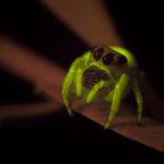 Spider fluorescence - (c) DanJones