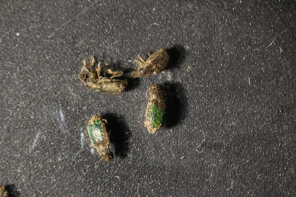 Annual bluegrass weevils with fluorescent marking, white light