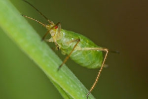 Pea_aphid_(6851672066)_(2)