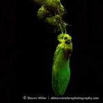 Cicada fluorescence - (c) Shawn Miller