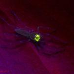 Spider (Onomustus kanoi) fluorescence - (c) Shawn Miller