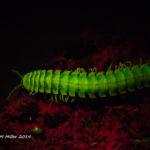 Millipede (Riukiaria falcifera) fluorescence - (c) ShawnMiller