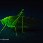 Katydid (Ducetia japonica) fluorescence - (c) ShawnMiller